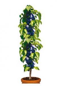 Śliwa kolumnowa 'Fruca®' Prunus 'Fruca®'