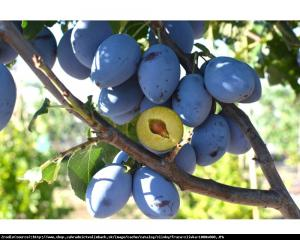 Śliwa kolumnowa Fruca Prunus Fruca