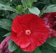 Hibiskus bylinowy 'Cranberry Crush'... Hibiscus moscheutos 'Cranberry Crush'...