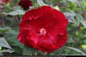 Hibiskus bylinowy Cranberry Crush Hibiscus moscheutos Cranberry Crush...