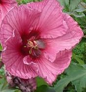 Hibiskus bylinowy 'Plum Crazy' Hibiscus moscheutos 'Plum Crazy'