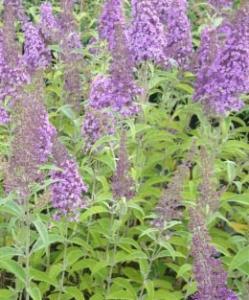 Budleja Dawida 'Flutterby Lavender'... Buddleja davidii 'Flutterby Lavender'...