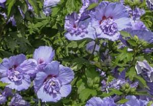 Ketmia syryjska 'Blue Chiffon' Hibiscus syriacus 'Blue Chiffon'
