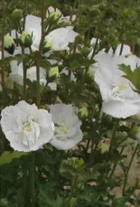 Ketmia syryjska 'White Chiffon' Hibiscus syriacus 'White Chiffon'...
