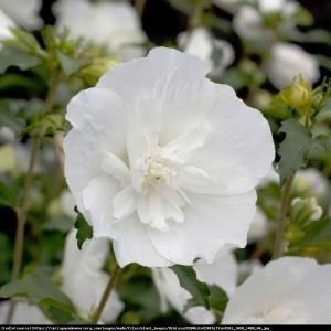Hibiskus, Ketmia syryjska White Chiffon - ... Hibiscus syriacus White Chiffon