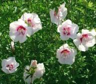 Hibiskus, Ketmia syryjska China Chiffon - ... Hibiscus syriacus China Chiffon