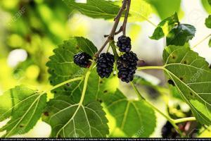 Morwa czarna Morus nigra
