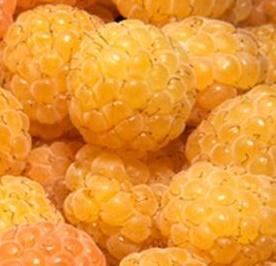 Malina właściwa 'Fallgold' Rubus idaeus 'Fallgold'