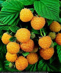 Malina właściwa Fallgold Rubus idaeus Fallgold