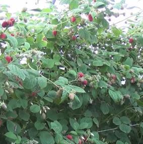 Malina właściwa Laszka Rubus idaeus Laszka