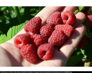 Malina właściwa Radziejowa Rubus idaeus Radziejowa