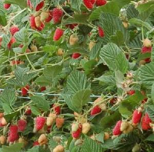 Malina właściwa 'Tulameen' Rubus idaeus 'Tulameen'