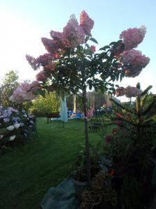 Hortensja bukietowa Vanille Fraise na pniu... Hydrangea paniculata Vanille Fraise na pni...
