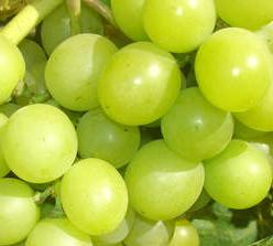 Winorośl Królowa winnic Vitis Królowa winnic