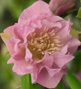 Ciemiernik wschodni Double Ellen Pink... Helleborus orientalis Double Ellen Pink ...