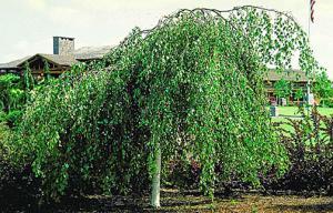 Brzoza brodawkowata Youngii  Betula pendula Youngii