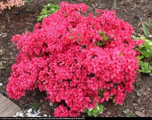 azalia Rubinetta Rhododendron Rubinetta