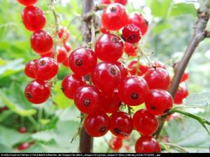 Porzeczka czerwona krzew Rolan Ribes rubrum Rolan
