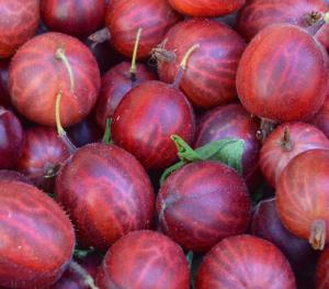 Agrest czerwony Hinnomaki Rot - KRZEW... Ribes uva-crispa Hinnomaki Rot