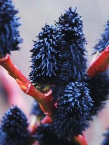 Wierzba smukłoszyjkowa Melanostachys - HI... Salix gracilistyla Melanostachys