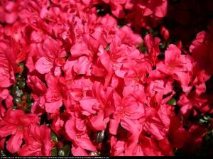 Azalia Noriko (Geisha Karmin) Rhododendron Noriko (Geisha Karmin)...
