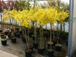 Forsycja zielona Kumson na pniu !!!... Forsythia viridissima Kumson