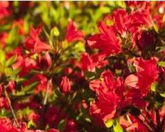 Azalia Evita Rhododendron Evita