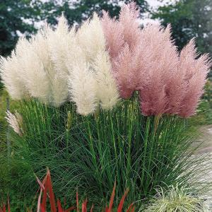 Trawa pampasowa RÓŻOWA - ogromne kwiatos... Cortaderia selloana Rosea