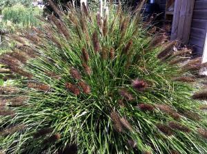 Rozplenica japońska Black Beauty - CZARNA... Pennisetum alopecuroides viridescens ...