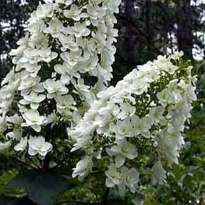 hortensja dębolistna Snowflake - RARYTAS ... Hydrangea quercifolia Snowflake