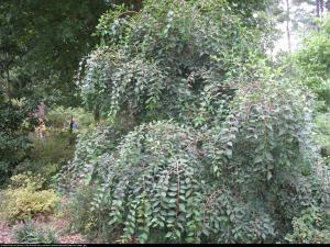 Styrak japoński Pendula - POKRÓJ PŁACZ�... Styrax japonicus Pendula