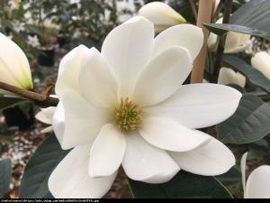 Magnolia Fairy Cream - UNIKAT, ZIMOZIELONA... Magnolia Fairy Cream
