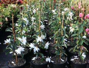 Magnolia Fairy White - UNIKAT, ZIMOZIELONA... Magnolia Fairy White