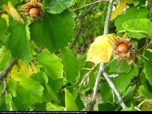 Leszczyna turecka Corylus colurna