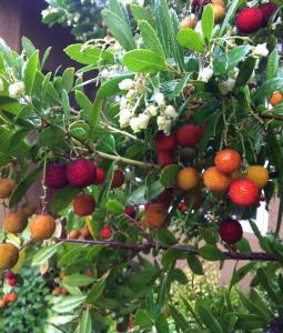 Drzewo truskawkowe - AROMATYCZNE OWOCE... Arbutus unedo