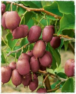 Aktinidia purpurowa Hardy Red - MINI KIWI,... Actinidia purpurea Hardy Red -  ŻEŃSKA...