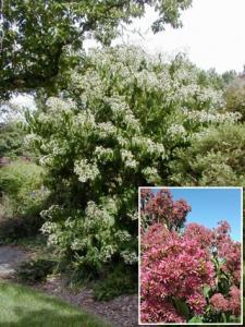 Heptakodium chińskie TIANSHAN - NOWOŚĆ,... Heptacodium miconioides TIANSHAN ...