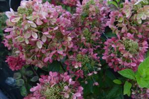 Hortensja bukietowa PASTELGREEN - ZMIENNA ... Hydrangea paniculata PASTELGREEN® Renxolo...