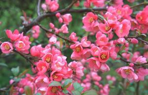 Pigwowiec pośredni Pink Lady - DEKORACYJN... Chaenomeles ×superba Pink Lady