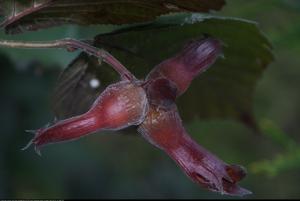 Leszczyna Warszawski czerwony Corylus avellana