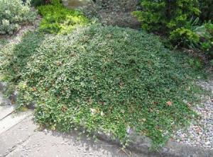 Irga płożąca Queen of Carpets - SUPER N... Cotoneaster procumbens Queen of Carpets...