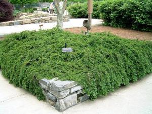 irga płożąca Streib's Findling - ZIELON... Cotoneaster procumbens Streib`s Findling...