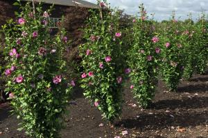 Ketmia, Hibiskus syryjski PURPLE PILLAR - ... Hibiscus syriacus Purple Pillar