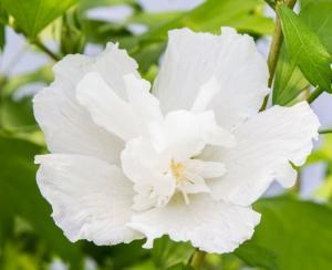Ketmia, Hibiskus syryjski - NOWOŚĆ, KOLU... Hibiscus syriacus White Pillar