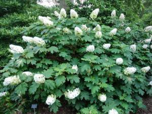 Hortensja dębolistna SNOW QUEEN  - WSPANI... Hydrangea quercifolia SNOW QUEEN