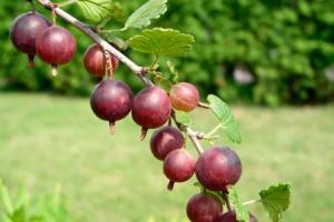 Agrest Captivator KRZEW - BEZKOLCOWY I SMA... Ribes uva-crispa Captivator