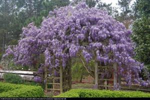 Glicynia chińska Fioletowa Wisteria sinensis