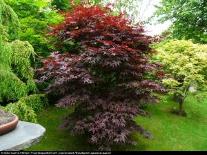 Klon palmowy Bloodgood Acer pal.  Bloodgood