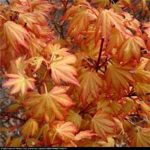 Klon palmowy Orange Dream Acer pal.  Orange Dream