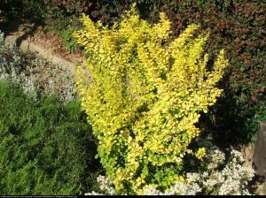 Berberys Aurea Berberis thunb. Aurea
